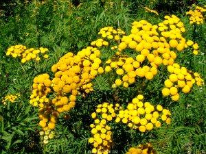 Пижма обыкновенная ( в народе её ещё зовут дикая рябинка), травянистое растение, многолетник.