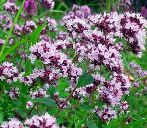 Душица обыкновенная многолетнее растение, высотой бывает от тридцати сантиметров и до семидесяти.