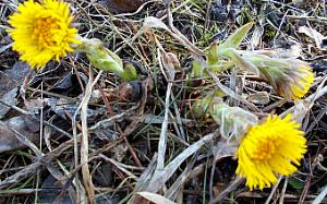 Ранней весной    когда ещё и снег не везде растаял, а на сырых , но солнечных местах, появляются первые жёлтые цветочки, это мать-и -мачеха