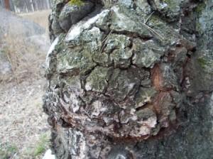Чага растёт не только на берёзовых стволах, но и на стволах ольхи, вяза, бывает на рябине.