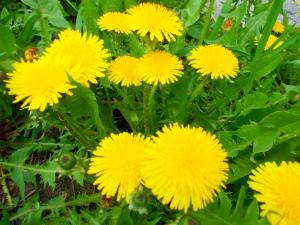 Одуванчик  травянистое, лекарственное растение, многолетник, высотой бывает до 30 см. Цветки- ярко- жёлтые , солнечные корзиночки.