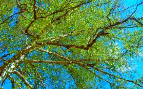 Берёза повислая  с тонкими и гибкими ветвями, которые часто тянутся почти до земли, дерево высокое