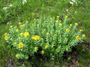 Родиола розовая, в народе называемоя  золотым корнем -  многолетник, травянистое растение относящееся к  семейству толстянковых.