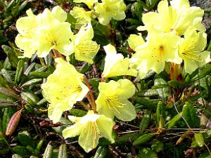 Рододендрон золотистый или кашкара -это кустарник, высотой до 80 сантиметров, вечнозеленый.