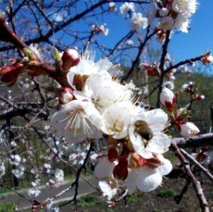 Абрикос семейство розоцветных плодовое дерево