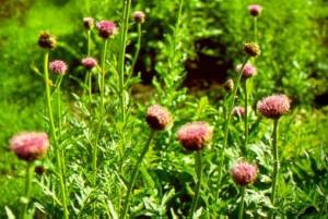 Левзея сафлоровидная  травянистое, многолетнее растение,