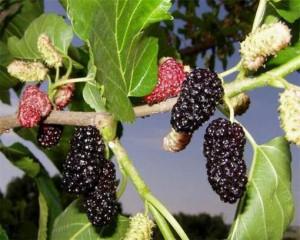 Шелковица черная ( в народе зовется тутовник или тута )