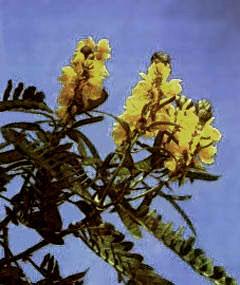 Кассия узколистная, а также Александрийский лист  или Сенна, это все названия тропического, многолетнего    полукустарника