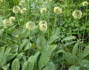 Черемша или лук медвежий, или  колба-это травянистое  , многолетнее,  дикорастушее  растение, из  луковичных,  с резким  чесночным запахом  и  вкусом.