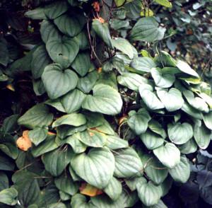Диоскорея  кавказская вьющаяся, травянистая, многолетняя, лиана