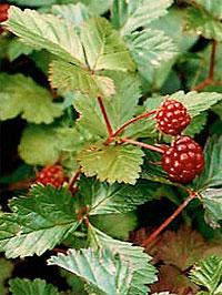 Княженика ягода  или народные названия,  малина северная, морошка красная