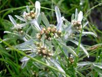 Сушеница топяная  растение однолетнее, травянистое  из семейства астровых