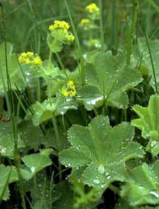 Манжетка обыкновенная  травянистое стелющееся , многолетнее жёлто-зелёное растение