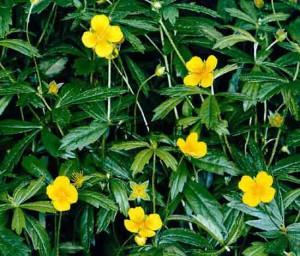 Лапчатка прямостоячая или калган -травянистое многолетнее растение.
