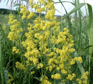 Подмаренник настоящий  ( в народе имеющий очень много других названий,одно из них цепкий ) -травянистое , многолетнее растение  имеющее стебель высотой от 30 см до  120. Листочки -узколинейные, остроконечные.