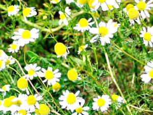 Ромашка аптечная или лекарственная - светолюбивое, душистое,  травянистое,  однолетнее растение.