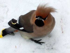 Свиристель   Природа птицы