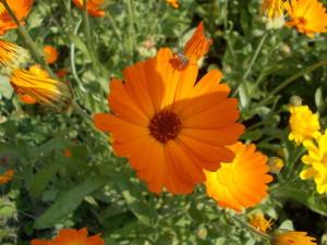 Календула или цветы ноготки.