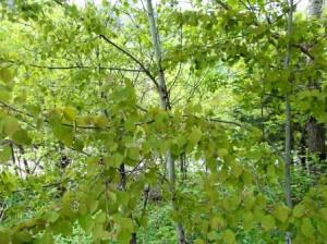 Осина в народе называемое шептун - дерево, из семейства ивовых