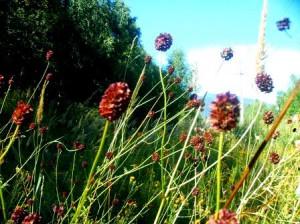 Кровохлебка лекарственная - травянистое многолетнее растение