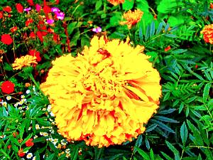 Бархатцы - сильно пахучее однолетнее травянистое растение.