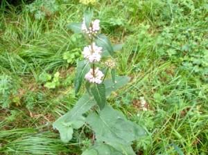 Зопник клубненосный  - ароматическое многолетнее , травянистое растение из семейства губоцветных