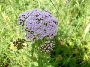Тысячелистник - травянистое многолетнее растение из семейства астровых.