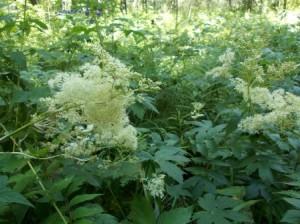 Лабазник  вязолистный, в народе зовут белоголовник,  из семейства розоцветных,многолетнее травянистое растение до 180 см высотой.