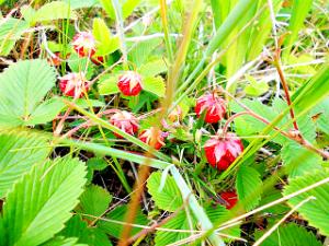 Клубника  или земляника зеленая - травянистое многолетнее растение с getImage (2)белыми цветками и шаровидными плодами.