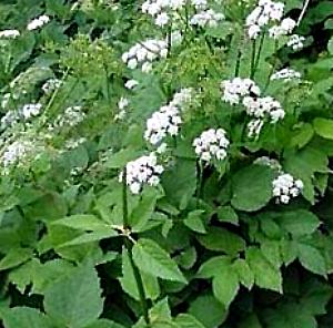Сныть обыкновенная - многолетнее травянистое высокое растение.