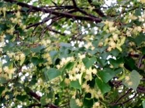 Липа сердцевидная листопадное  высокое дерево из семейства  липовых