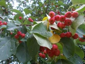 Яблоня лесная высокое, до 10 метров, дерево,семейства розоцветных, с отвесным, глубоко уходящим в землю корнем.