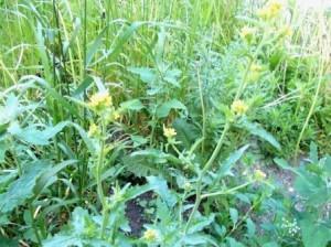 Сурепка  в народе как и любое растение носит много названий (желтяница, капустка, так как  из семейства капустные, или крестоцветные, кто то завет рапс)