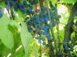 Виноград  культурный - растение вьющееся, деревянистое, высотой бывает до 40 метров.