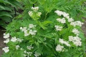 Анис или анис обыкновенный  травянистое однолетнее растение, семейства зонтичных, с прямым стеблем,сверху ветвистым и мелкими собранные в сложные зонтики.