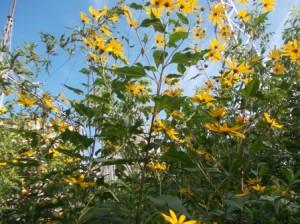Топинамбур - земляная груша, травянистое многолетнее растение