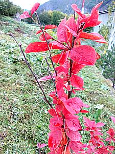 Барбарис обыкновенный - кустарник из семейства барбарисовых, высотой бывает до 2.5 метра. Цветки собраны в кисти, светло - желтого цвета и своеобразным запахом.