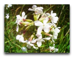 Мыльнянка лекарственная травянистое многолетнее растение из семейства гвоздичны