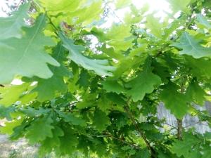Дуб обыкновенный листопадное
