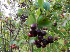 Черноплодная рябина  или  арония черноплодная