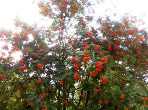 Рябина красная - сибирская не очень высокое дерево