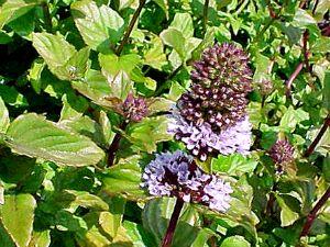 Мята перечная кустистое  многолетнее травянистое растение из семейства губоцветных, имеющее сильный аромат.