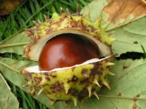каштан конский  - плод