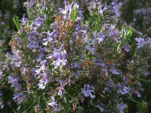 розмарин - растение со специфическим запахом.  Розмарин