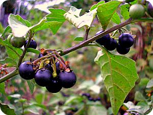 Паслен черный считается ядовитым