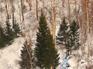Стоит в русском лесу самое древнее дерево вечнозеленое с конусовидной кроной, ель обыкновенная.