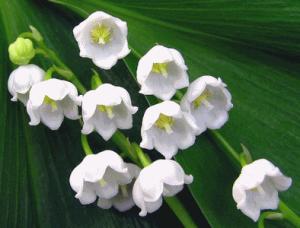 Ландыш майский своим названием уже напоминает нам о весне и настраивает на лирический лад.