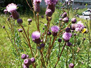 Цветы васильки из семейства астровых издавно воспеваются в народных песнях