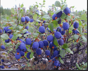 ягода голубика фото