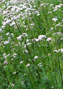 Валериана лекарственная (в народе имеющее название название-кошачья трава).